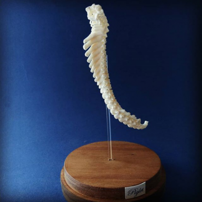 porcine vertebral column on stand left facing
