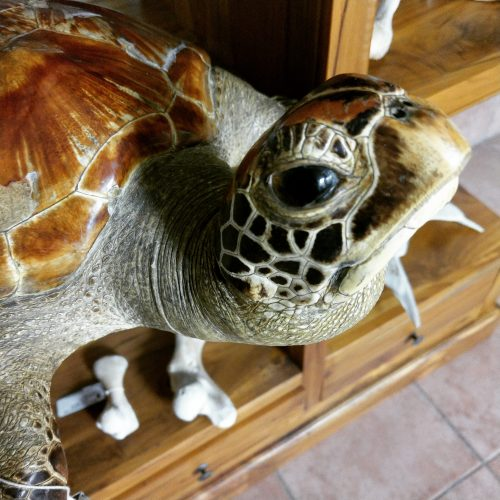 taxidermy turtle