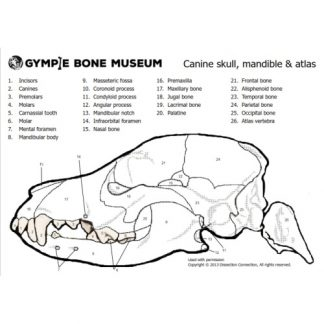 gympie bone museum anatomical colouring in dog skull worksheet thumbnail
